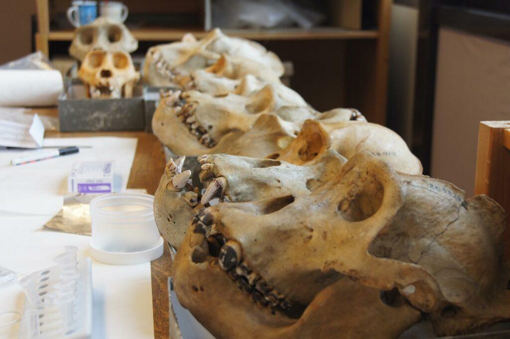 Evolution der Mundbakterien begann schon bei den Gorillas.