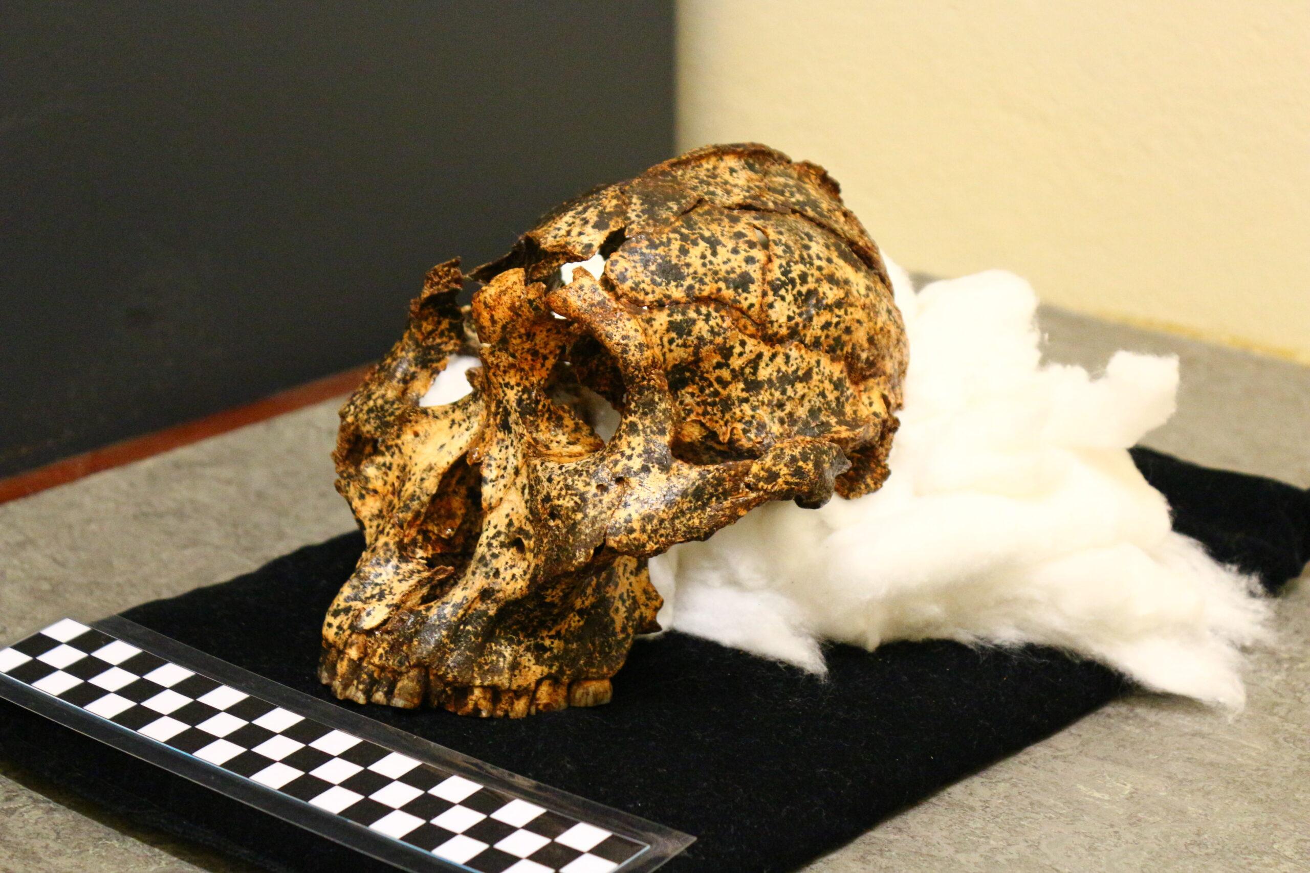 3D-Scans als nützliche Helfer der Paläoanthropologie