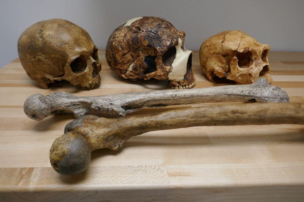 Zu sehen sind drei Schädel und zwei Armknochen, alle in unterschiedlicher Größe, die vom Klima beeinflusst wurden.
