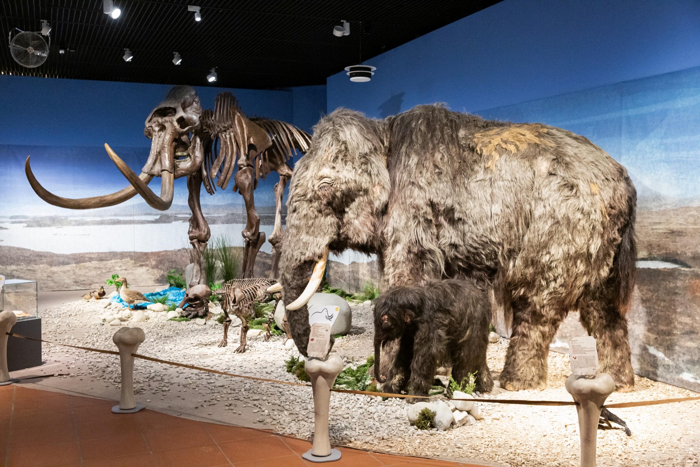 Blick in die Ausstellung – Mammut. © rem, Foto: Rebecca Kind